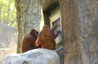 Orangutans Play Video Games Too!