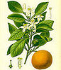 Neroli Oil 