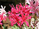 Nerine