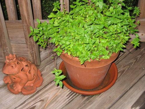 Growing Mint is Easy!