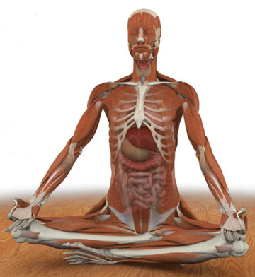 Weekend Reading: The Key Muscles of Hatha Yoga
