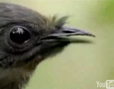 A Bird That Mimics Car Alarms, Cameras, And Chainsaws...